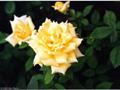 Postal de flores 2 flores17.jpg