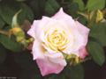 Postal de flores 3 flores19.jpg