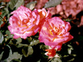 Postal de flores 3 flores21.jpg